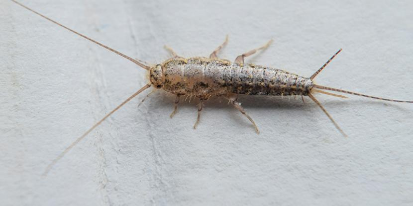 Silverfish are a type of small, nocturnal insect. These pests are annoying and can be destructive. Learn how to get rid of silverfish and prevent their return.
